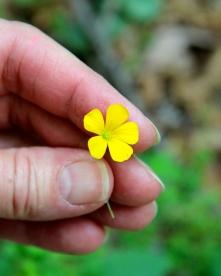 Yellow Wood Sorrel: five petals