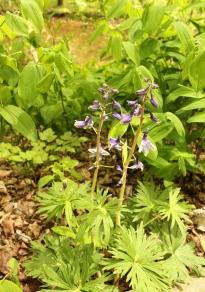 Dwarf Larkspur growing with bellflower