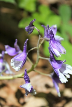 Dwarf Larkspur (note the prominent spur in the back of the flower)