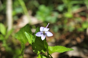 Long-spurred violet: beardless petals