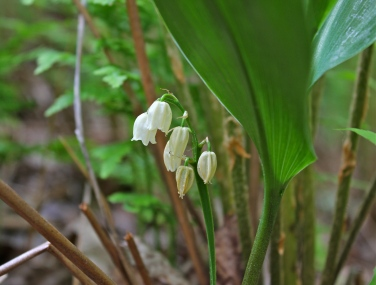 American Lily of the Valley