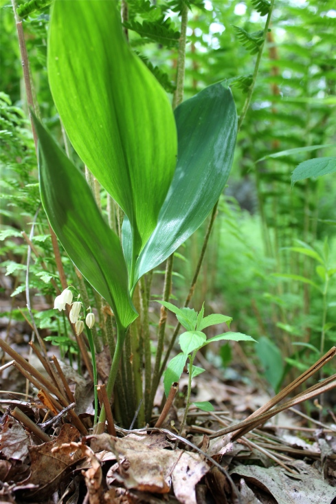 American Lily of the Valley: 2 to 3 leaves per plant: notice how low the flower stalk is
