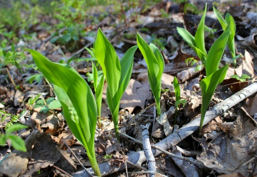 American Lily of the Valley at Mill Creek