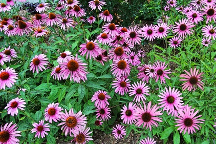 Purple Coneflowers at the Hahn Garden