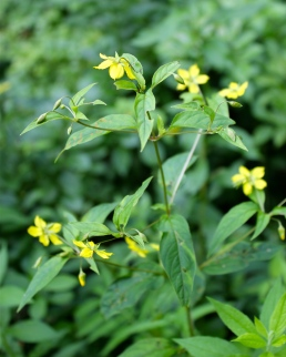 Fringed Loosestrife: the flowers are always nodding