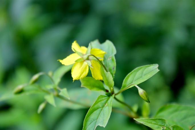 Nodding flowers of Fringed Loosestrife