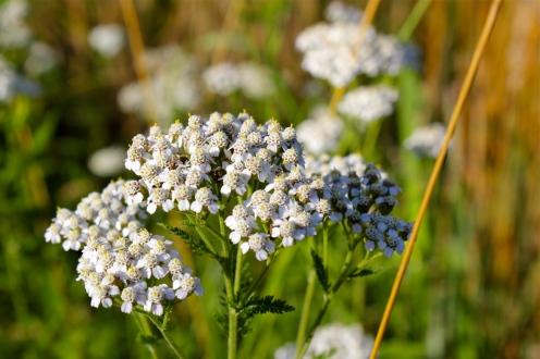 Yarrow: each flower head has five petals