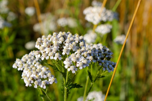 Yarrow: each flower head has five petals