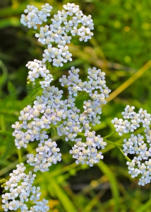 Yarrow: the flower heads have five white petals