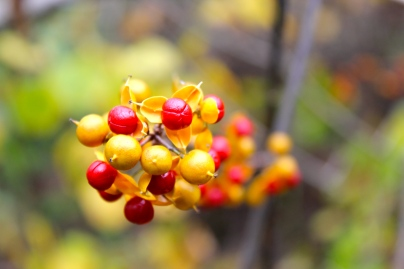 The red and yellow fruit of bittersweet