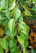 Bittersweet leaves