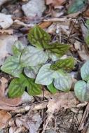 Leaves showing varigation