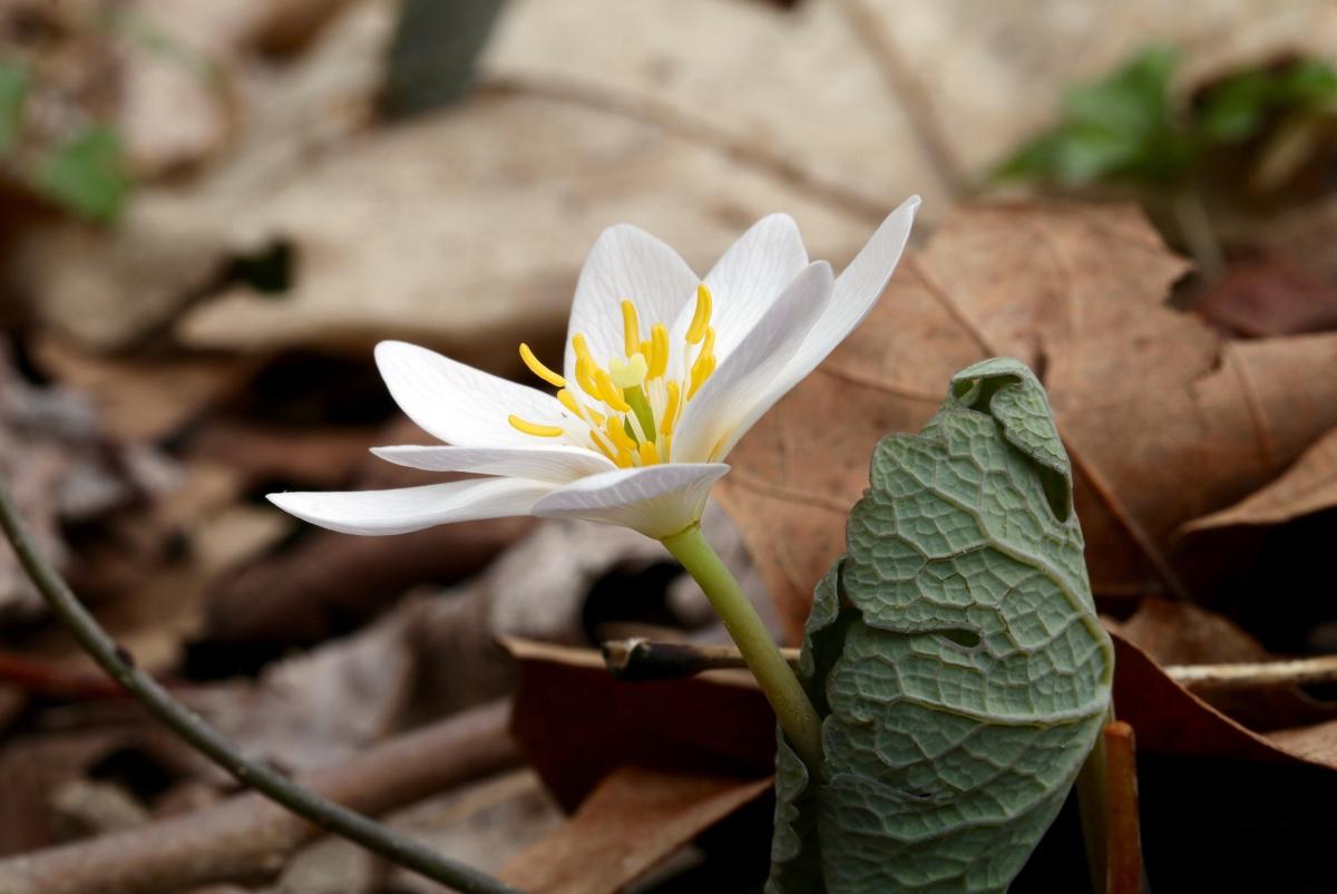 Bloodroot Virginia Wildflowers