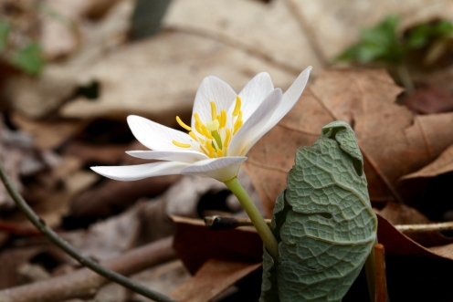 Blood Root, March 29, 2018