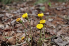 Coltsfoot in early April: only flowers are up