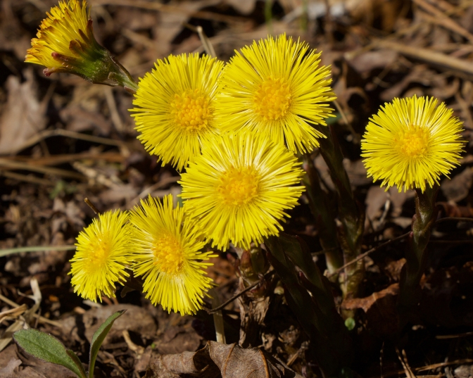 The sunny faces of coltsfoot in spring