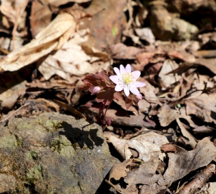 Pinkish flower: March 31st at Mill Creek