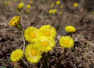 Coltsfoot on a sunny day in early April