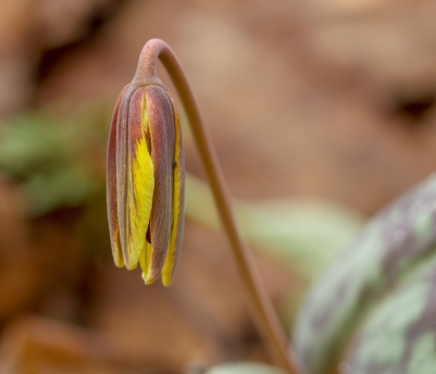 Ready to open: trout lily