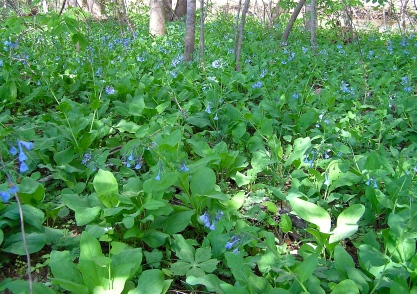 Virginia Bluebells growing along the Roanoke River in Shawsville