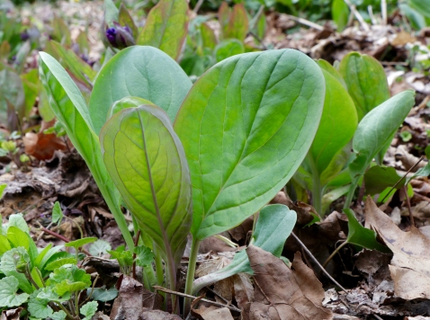 Virginia Bluebells-young leaves (Garden cultivar)