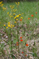 Indian Paintbrush with Golden Ragwort