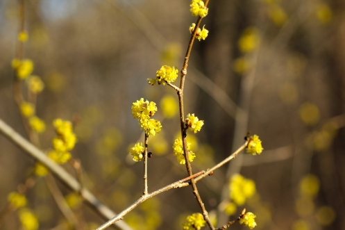 Spicebush flowers in April