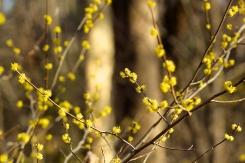 Spicebush flowers in April