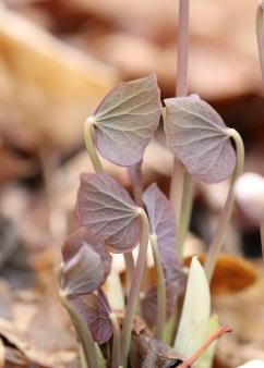 Twin Leaf emerging in March