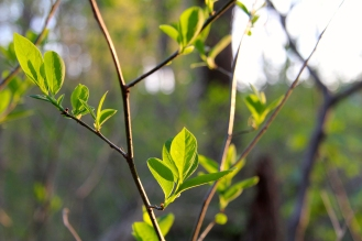 New leaves: Spicebush