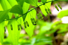 Pendant flowers hang from the leaf axils