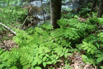 A mass of Solomon's Seal growing along a stream in the Ellett Valley