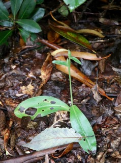 Showy Orchis seed capsules in September
