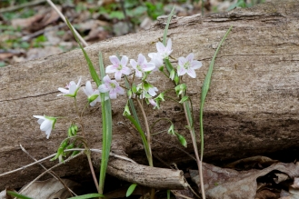 The leaves of Claytonia virginica are long and strap-like