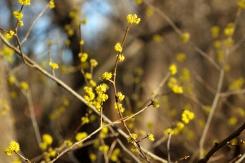 Spicebush flowers