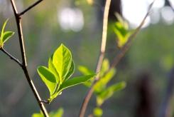 Spicebush leaves in late April