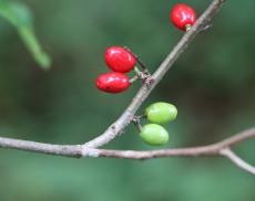 Spicebush berries in September
