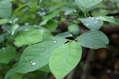 Spicebush leaves in summer