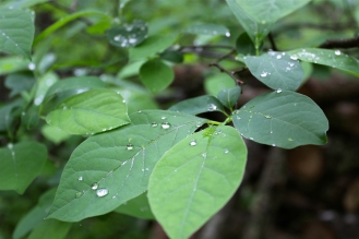 Spicebush leaves in summer