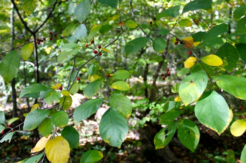 Spicebush berries in fall