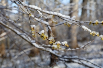 Spicebush flowers after a late snowfall