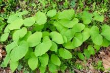 twinleaf plants