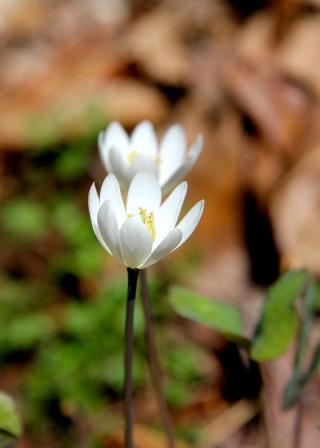 Twin Leaf in bloom