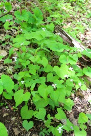 Here is a small colony of Canada Violets in early May