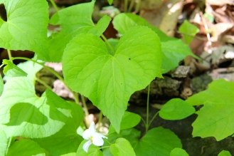 The heart-shaped leaves can be broad or narrow, with slightly serrate edges, and palmate veination