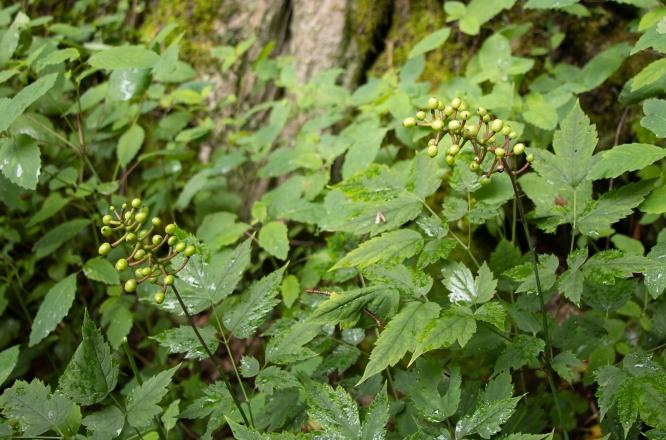 Doll's Eyes: berries in early August