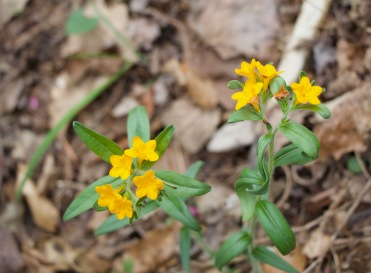 Hoary Puccoon or Stoneseed