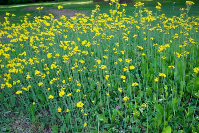 "A ""stand"" of hawkweed"