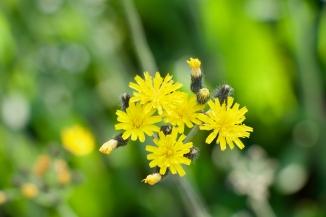 Hawkweed flowers