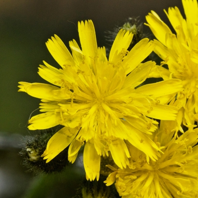 Close up of one flower in a cluster of hawkweed flowers. Note the scalloped edges of the rays.